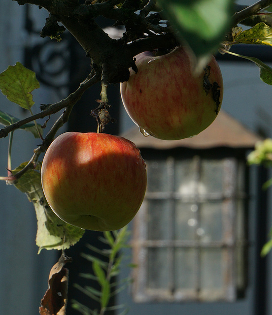 Zwei Äpfel und eine Birne