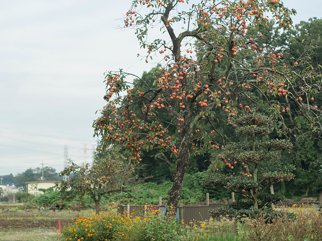 Persimmon tree and cosmos