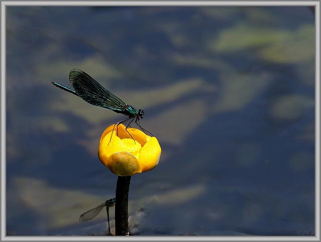la libellule et le nénuphar jaune ( ou jaunet d' eau) .......