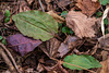 Tipularia discolor (Crane-fly orchid) leaves