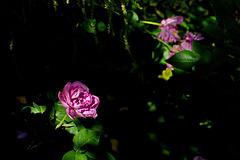 Rose 50 + 29  :  Princess of Funk