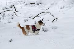 Jack Russell Terrier Clifford DSC00032