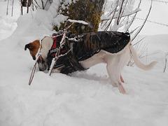 Jack Russell Terrier Rico DSCN0104