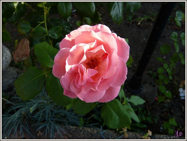 **Une rose pour vous qui passez ; bon mardi **