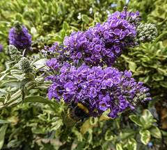 A Bee in August on late Buddleia flowers for H.A.N.W.E