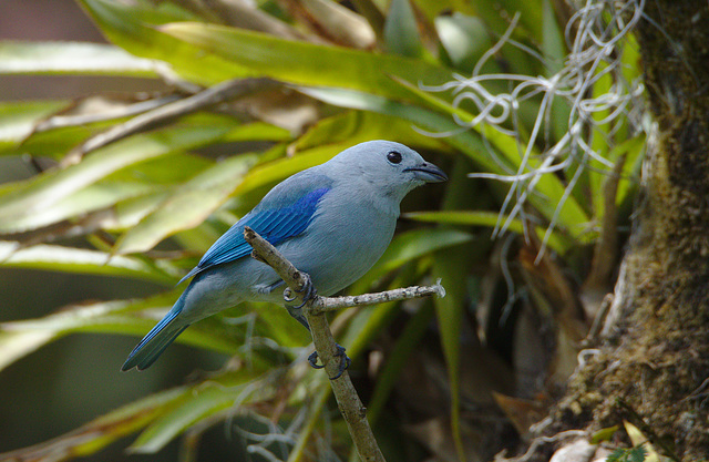 Blue-gray Tanager  EF7A5175