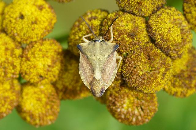Nördliche Fruchtwanze (Carpocoris fuscispinus) auf Rainfarn