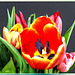 Time for Tulips... ©UdoSm