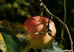Reifer Apfel..