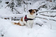 Jack Russell Terrier Clifford DSC00027