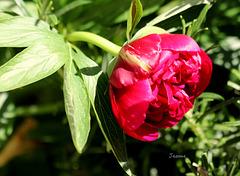 pivoine de mon jardin