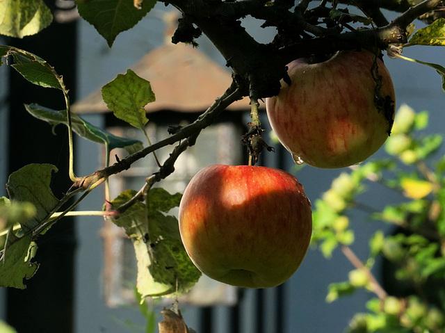 Äpfel im Morgentau