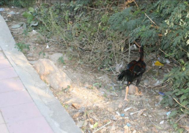 Thai Chicken or Roadrunner Beep, beep 03