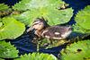 Duckling (PiP)