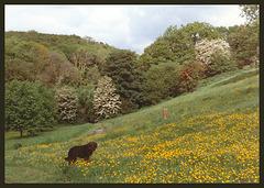 dog in buttercups