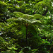 Azores, The Island of Pico, Giant Tree Fern