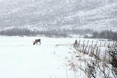 Rangifer tarandus, reindeer, Tromsø area