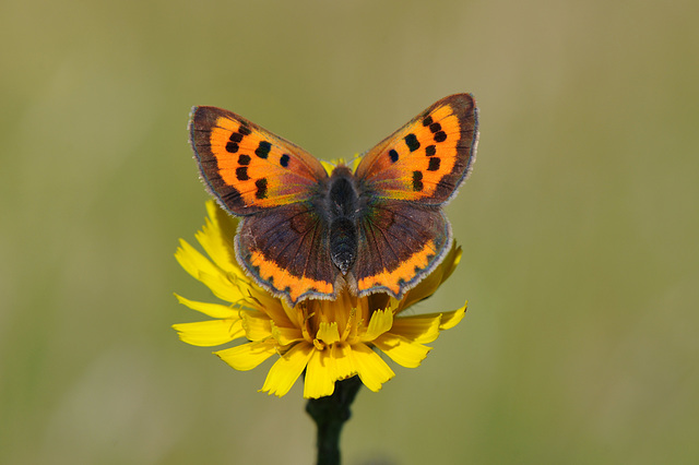 Small copper in the meadow