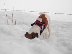 Jack Russell Terrier Clifford DSCN0096