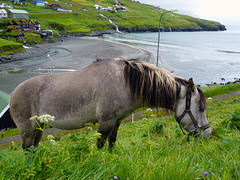 Leynar - un cavallo vikingo - (478)
