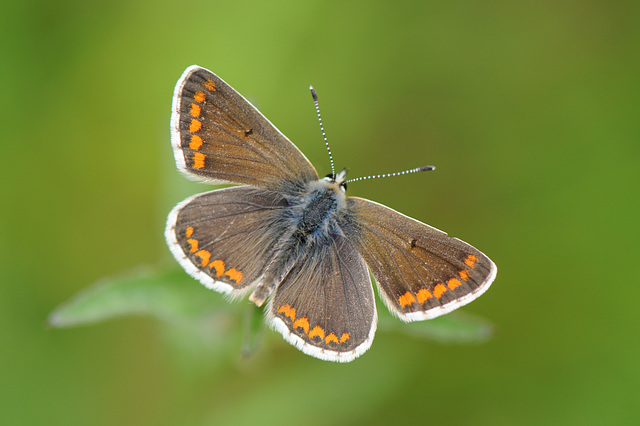 Brown Argus in the meadow