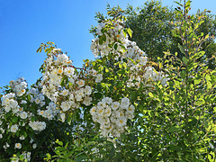 DSC 0275ac Fragrant Wild Roses at Rear