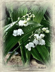 Bonne fête ! ... et plein de bonheur! ** Have a great 1st of May ! ... Here some lucky lily of the valley for you !