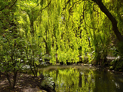 Weeping Willow Curtain, Peasholm Park - Scarborough