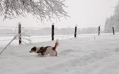 Jack Russell Terrier Clifford DSCN0093