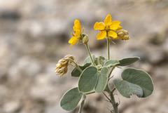 Durango Wild Sensitive Plant
