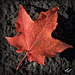 Blazing Maple Leaf and Fall Beauty in Medford Parking Lots, Set 4 (+5 insets!)