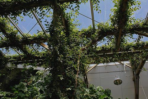 Ficus repens - Ficus pumila