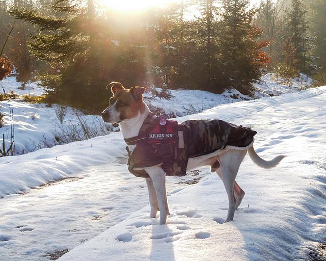 Jack Russell Terrier Rico DSCN0055