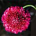 Persian Giant Allium II