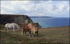Shetland Ponies, Ralph's Cupboard, Treaga Hill, Portreath, Cornwall