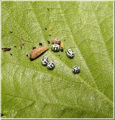 œufs de Phyllodesma tremulifolia
