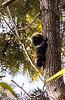 Pallashörnchen