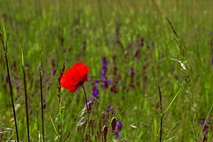 Eine Mohnblüte macht noch keinen Sommer ... One poppy blossom does not make a summer  ...