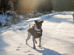 Jack Russell Terrier Rico DSCN0052