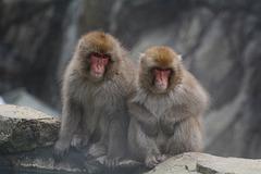 Japan, Jigokudani Yaen-Kōen Snow Monkey Park, A Couple of Japanese Macaques