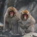 Japan, Jigokudani Yaen-Kōen Snow Monkey Park, A Couple of Japanese Macaques