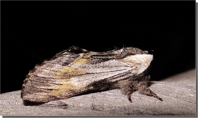Harpyia milhauseri - profil.