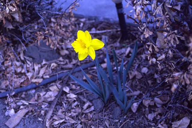 My lone daffodil