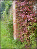 Virginia creeper on Lucy's wall