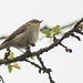 ChiffChaff in Tree