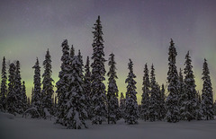 Spruce forest in a winter night