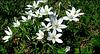 Star of Bethlehem (ornitholagum). Best enlarged.