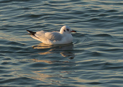 West Kirby seagull 1