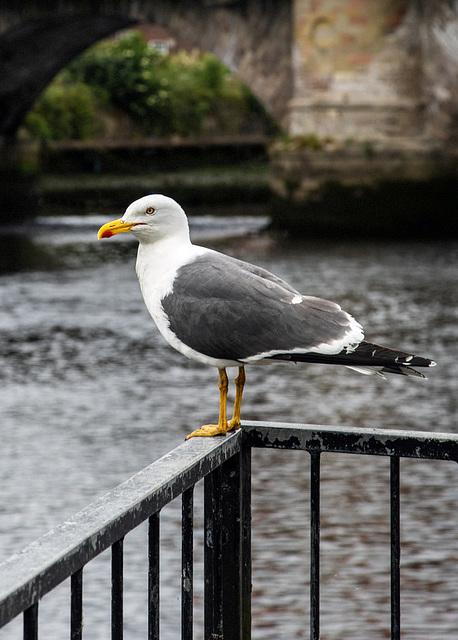 Yellow-Legged Gull at Dumbarton Bridge
