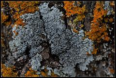 Lichen gris sur tilleul